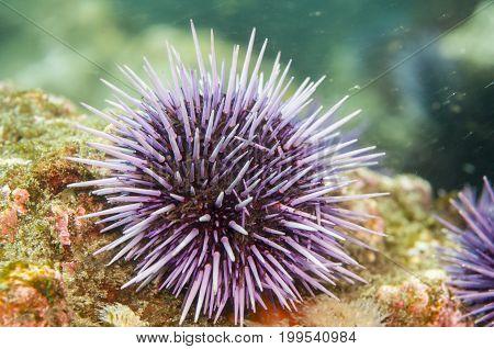 Purple Sea Urchin (Strongylocentrotus purpuratus) along Anacapa Island CA