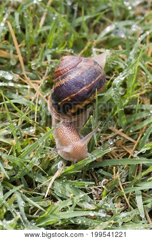 Snail moving on wet grass after rain