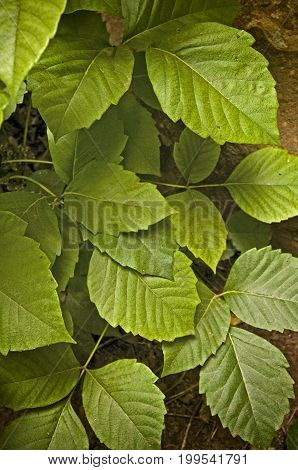 Poison Ivy (Toxicodendron radicans) close-up in wild
