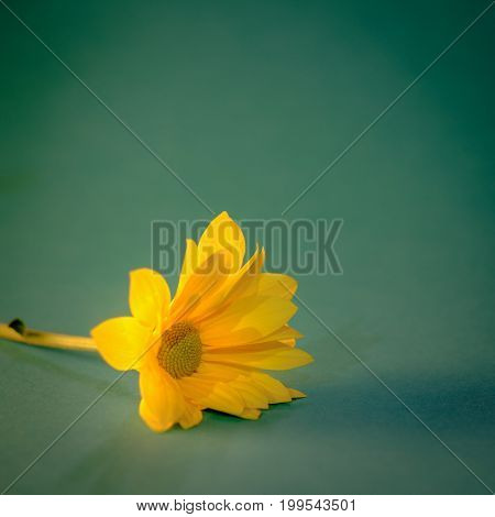 Close up and selective focus on yellow flawer of beautiful chrysanthemum with sunlight effect and soft green background. Vintage image style