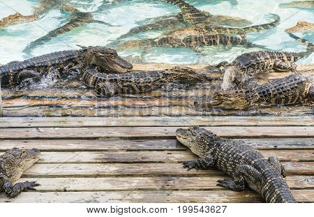 congregation of playful alligators in Florida tourism attraction