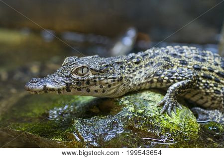 Captive baby nile crocodile (Crocodylus niloticus) in zoo habitat