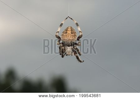 spider hanging from silken thread of web