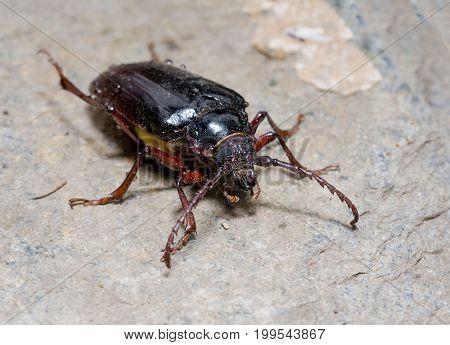 California prionus beetle (Prionus californicus) Male with conical antennae.