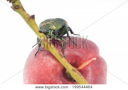 Mettalic green fig beetle (Cotinus texana) on apricot also called 'green fruit beetle' 'junebug' and 'figeater').