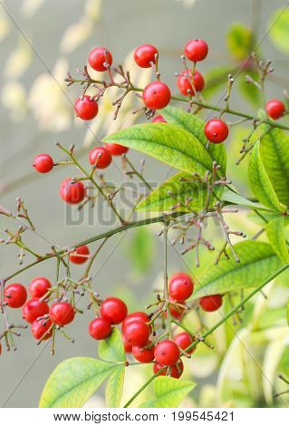 Red berries and green leaves on a bush