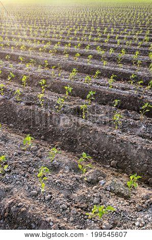 Planted green seedlings in rows on farmland