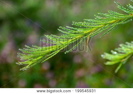 Close up of morning dew drops on green larch (fir) needles. Close-up of dew drops on larch (fir) needles on fresh green background.