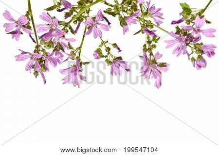 Frame with flowering pink mallow on a white background.Blooming pink mallow isolated on a white background.