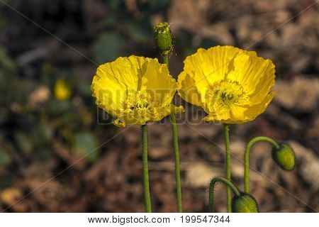 Green Stem Buds And Two Flowering Yellow Iceland Poppies