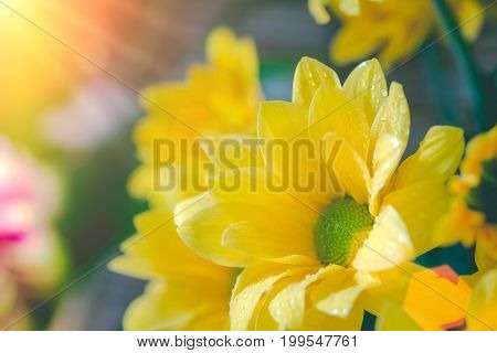 Top View And Selective Focus On Yellow Flawer Of Beautiful Chrysanthemum With Water Drop