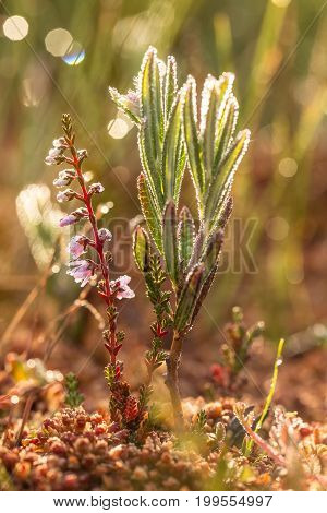 A beautiful bog rosemary growing in the marsh in morning dew. A beautiful closeup of a andromeda flower.