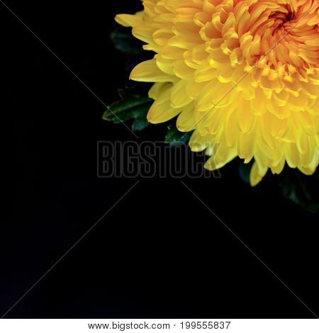 Top View And Macro Image Of Beautiful Fresh Yellow Chrysanthemum On Black Background. Copy Space Tex