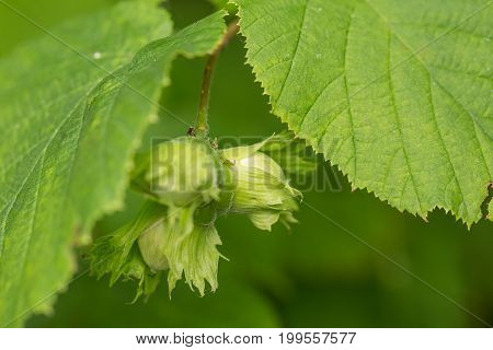 Beautiful closeup of a green hazel nuts in the tree. Delicious nuts in summer.