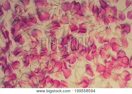 Beautiful bright pink carnation petals on dark background. Vintge image style.