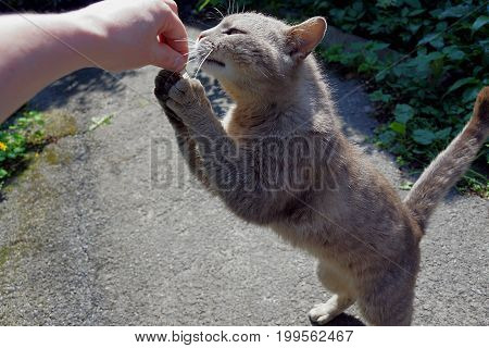 A gray cat on its hind legs stretches to his hand