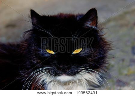 Static portrait of a black cat with yellow eyes