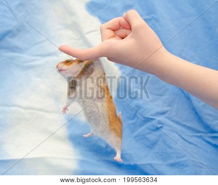 Funny cute Syrian hamster hanging on a human finger (against a bright blue background) selective focus on the human hand