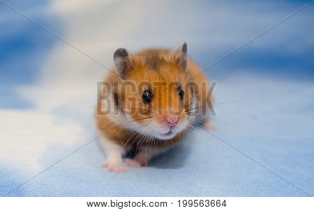 Cute tiny Syrian hamster on a bright blue background