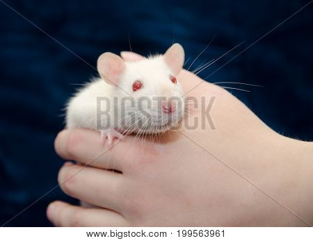 Cute curious white laboratory rat in a human hand (selective focus on the rat nose)