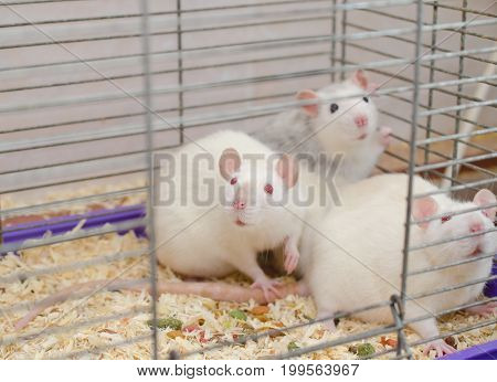 Scared laboratory rats in a cage selective focus on one of the rats