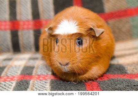Cute guinea pig sitting on a sofa