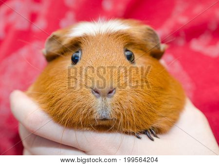 Funny cute guinea pig in a human hand (on the red background)