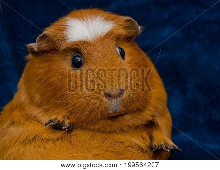 Portrait of a funny guinea pig sitting in a funny pose (on a dark blue background)