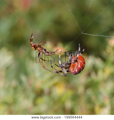 courtship ritual male and female spiders Araneus (Spiders-crosses)