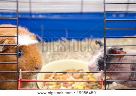 Two different guinea pigs near a bowl with food in a cage (selective focus on the guinea pig on the left)