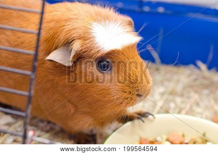Cute guinea pig near a bowl with food in a cage