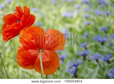 Two red poppy flowers against the background of blue cornflowers and green grass (as a bright floral background)