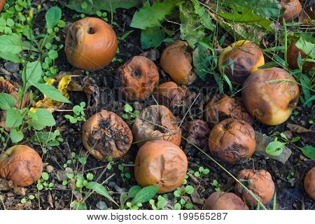 Rotten apples on the ground in the garden.