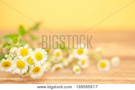 Beautiful wild chamomile flowers against the wooden background (shallow DOF selective focus) copyspace on the right