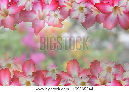 Background sweet pink flower There is a sparkle and empty central space for text or foreground with clipping path and changing the background.