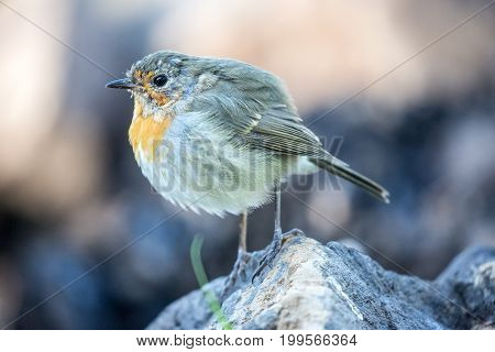 European Robin bird standing on a rock under a shadow in the morning