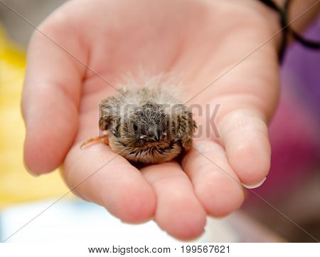 Cute baby bird (Zebra Finch) on a human hand shallow DOF with selective focus on the baby bird head