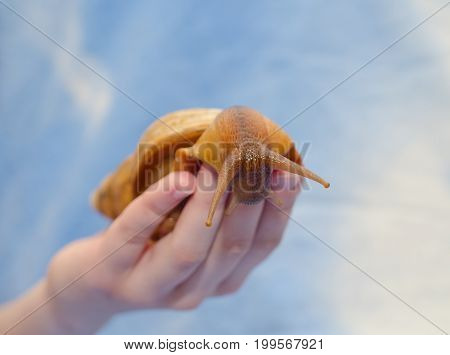 Giant African snail on a human hand (against a bright blue background) selective focus on the snail eyes