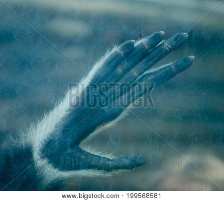 Gloomy silhouette of a monkey or ape paw on a scratched glass (in blue tones)