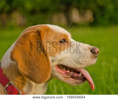 Portrait of a happy beagle puppy against the background of green grass