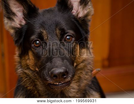 Cute German shepherd with a funny silly expression (selective focus on the dog nose and teeth)