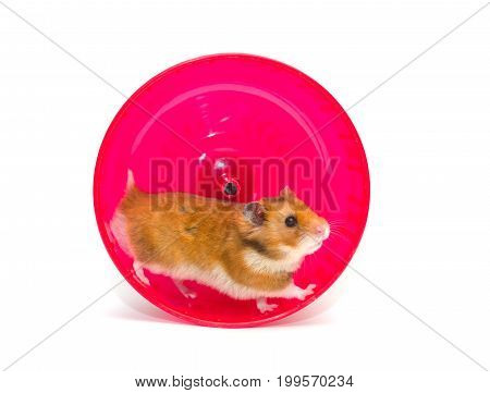 Cute Syrian hamster running in a bright pink hamster wheel (isolated on white)