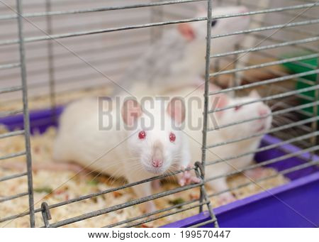 Curious white laboratory rat looking out of a cage with other rats shallow DOF with selective focus on the rat nose