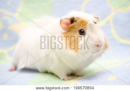 Cute guinea pig against a bright background (selective focus on the guinea pig nose)