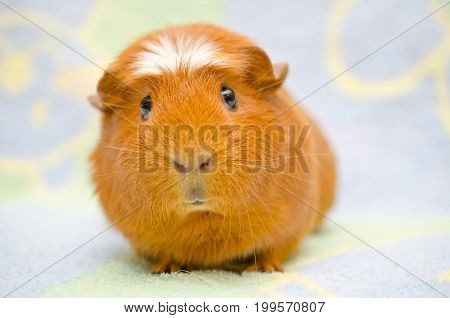 Cute funny-looking guinea pig against a bright background (selective focus on the guinea pig eyes)