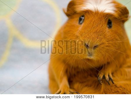 Cute funny-looking guinea pig sitting in a funny pose against a bright background (selective focus on the guinea pig nose) with copy space on the left