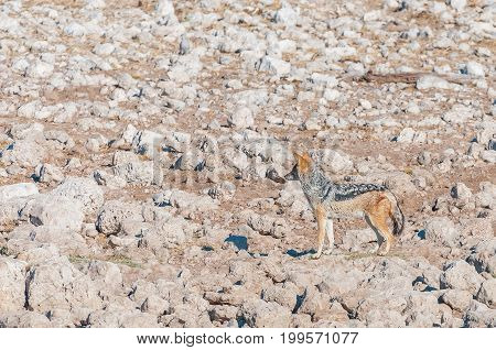 A black-backed jackal (Canis mesomelas) between white calcrete rocks in Northern Namibia