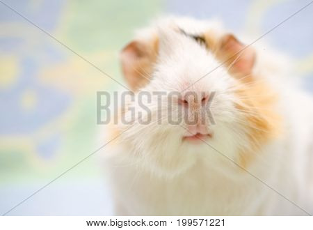 Portrait of a cute guinea pig against a bright background (shallow DOF selective focus on the guinea pig nose) with copy space on the left