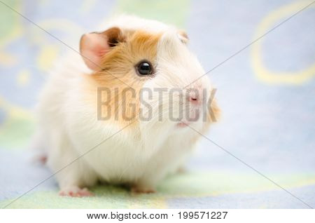 Cute guinea pig against a bright background (shallow DOF selective focus on the guinea pig nose)