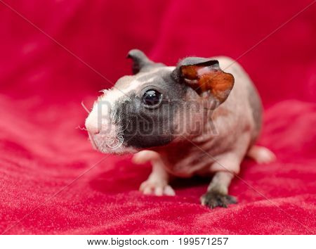 Portrait of a cute skinny guinea pig baby on a bright red background (shallow DOF selective focus on the guinea pig nose)